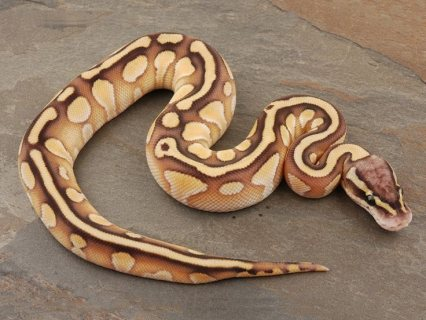 Lesser Ball Python And Set Up For Sale