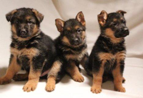 German Shepherd Puppies For Re Homing