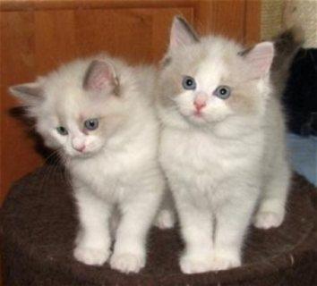 لطيف وجذاب ولدت القطط دوول للبيع.