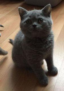 Cute British Blue Shorthair kittens for sale.