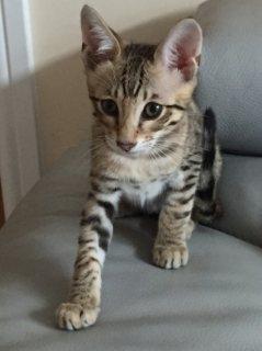 رائعتين سافانا - Serval لل- القط البري - القطط كاراكال للبيع