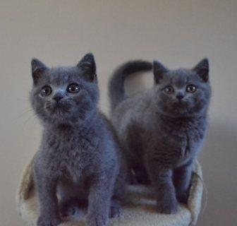 القطط شورثاير الغريبة المتاحة