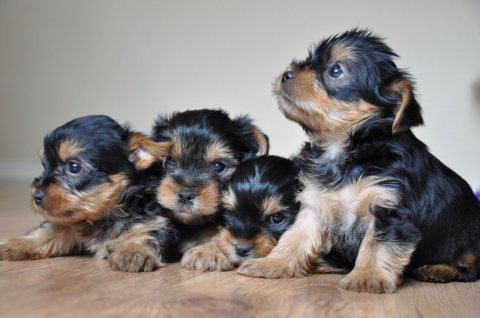 Tiny Yorkshire Terrier Puppies Kc Reg Full Pedigree / Now Ready