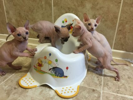Canadian Sphynx Kittens Gccf Registered