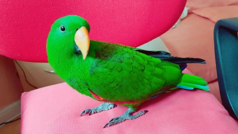 صور 16 Month Old Male Eclectus Parrot For Sale 1