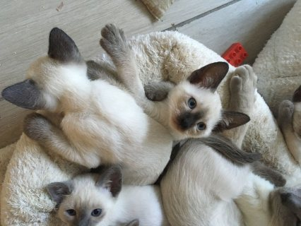 Gccf Reg Siamese Kittens Ready Now