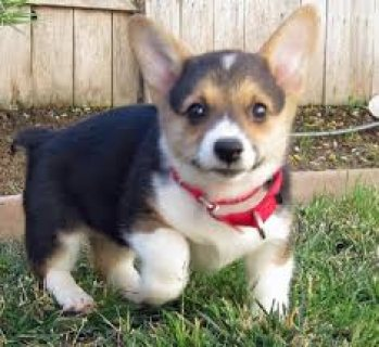 Trained Pembroke Welsh Corgi Puppies available for sale