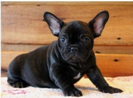 AKC quality French Bulldog Puppy for adoption