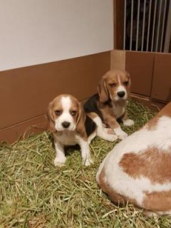 Cute Beagle Puppies for Adoption
