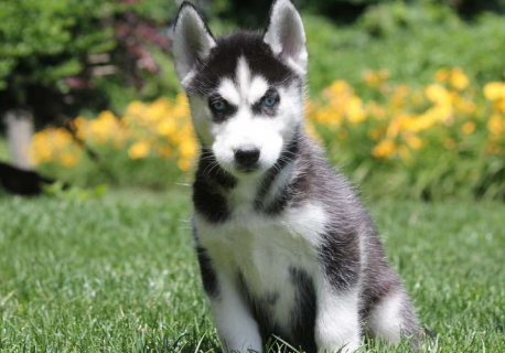 Well Trained Siberian Husky Puppies For Sale