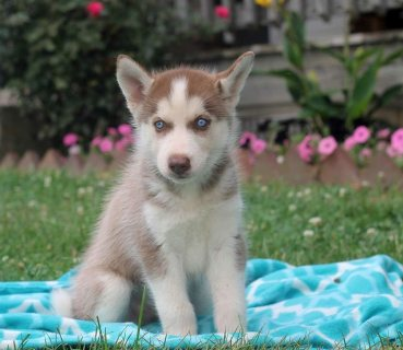 Healthy Siberian Husky Puppies For Sale: