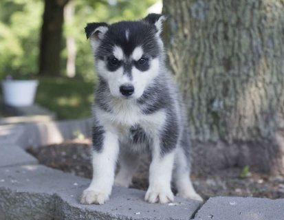 Siberian Husky Puppies For Sale: