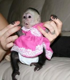 Capuchin monkeys for sweet homes ready to love them
