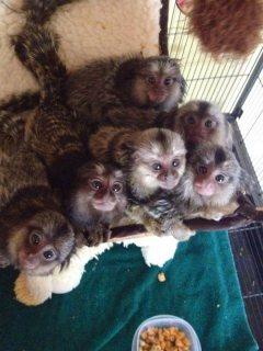 القردة المزدوجة للبيع
