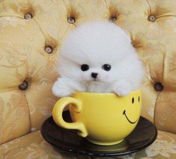 اثنين من فنجان كلب صغير طويل الشعر للبيع.