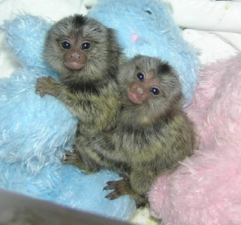 Baby marmoset monkeys available for new homes
