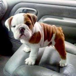 Bulldog America