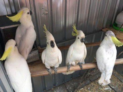 Good Looking Coocatiel Parrots For Sale