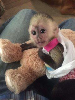 Very cute Capuchin monkeys for sale