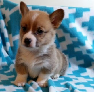 Quality Pembroke welsh corgi puppies for sale