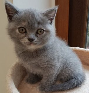 Charming British short hair kittens for sale