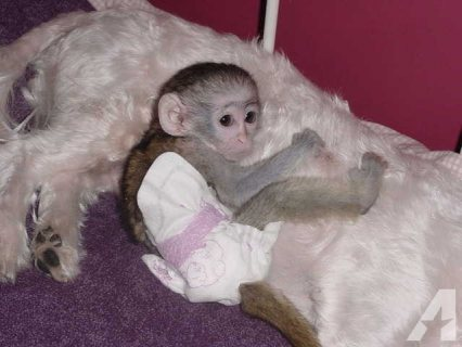 Cute and charming Capuchin monkeys for sale