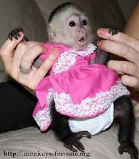 Clean registered Capuchin monkeys for sale