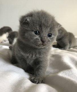 Quality British short hair kittens for sale