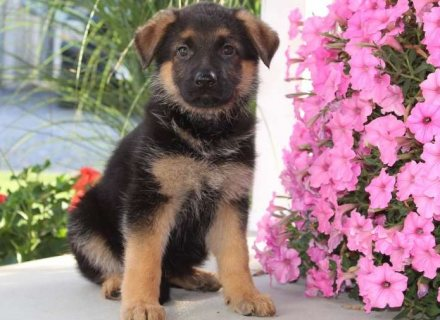 Super cute German shepherd puppies for sale
