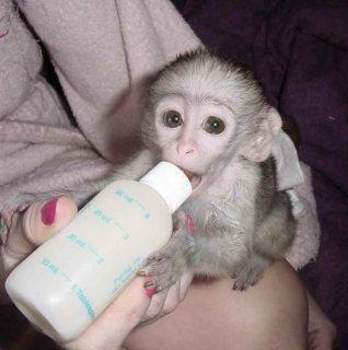 m...Male and female Capuchin monkeys for sale