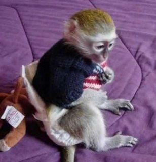 n...Male and female Capuchin monkeys for sale