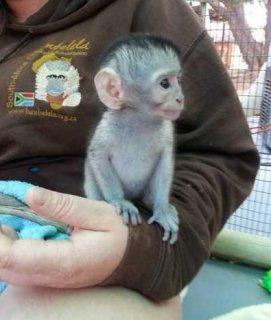 qq...Male and female Capuchin monkeys for sale