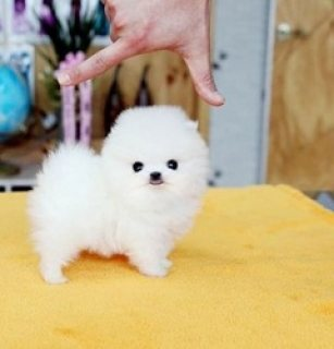 Cute Males and females Pomeranian Teacup Puppies for sale
