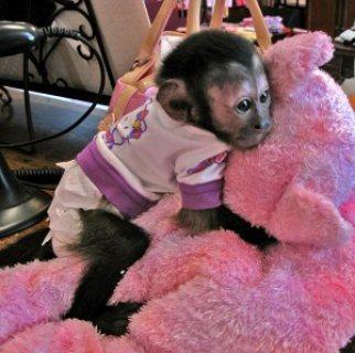 **Capuchin monkeys for sale***