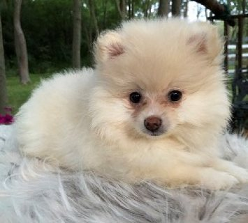 Home Raised Pomeranian Puppies for