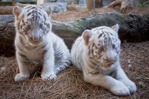 Tiger Cubs available for good homes.