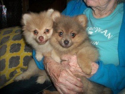 Pomeranian puppy available