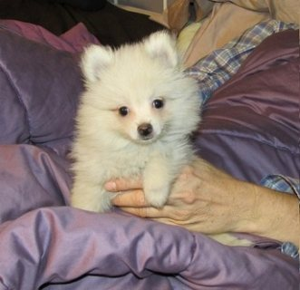 Pretty Pomeranian Puppies now available