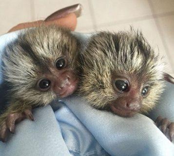Beautiful Usda Baby Marmosets Monkeys Available