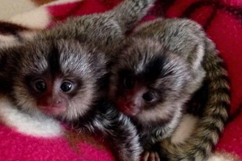 Adorable Marmoset Monkeys For Rehoming