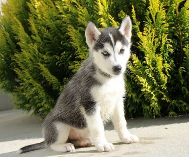 male and female siberian husky puppies for sale