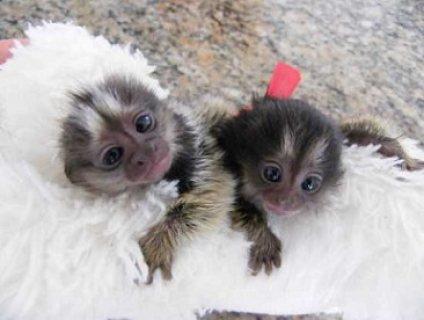 Affectionate Marmoset monkeys Ready