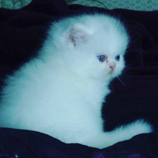 White> blue eyes >Persian kittens available