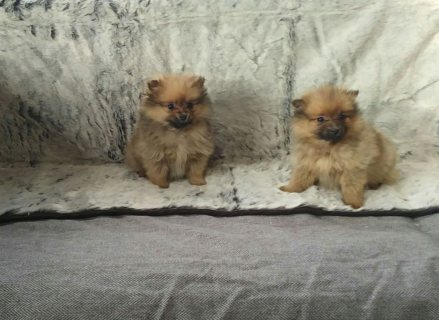 Beautiful Pomeranian For Sale