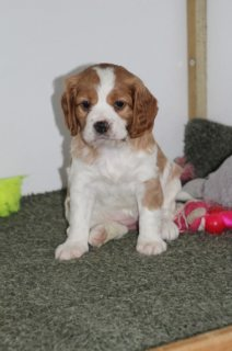 Beautiful Cavalier King Charles