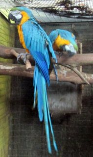 Adorable  Blue And Gold Macaw Parrot for sale