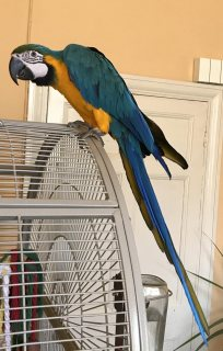 Cute Blue And Gold Macaw Parrot for sale
