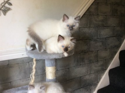 Pedigree Ragdoll  For Sale