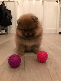 Miniature Pomeranian Puppies For Sale