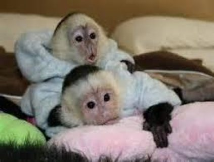 صور male and female Capuchin Monkeys available 1